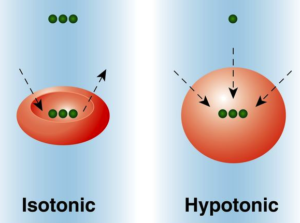 A red blood cell in isotonic solution, and a red blood cell in hypotonic solution
